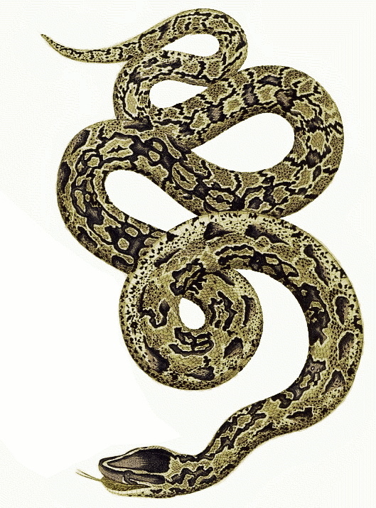 Download Free png Python Snake PNG PlusPNG.com.