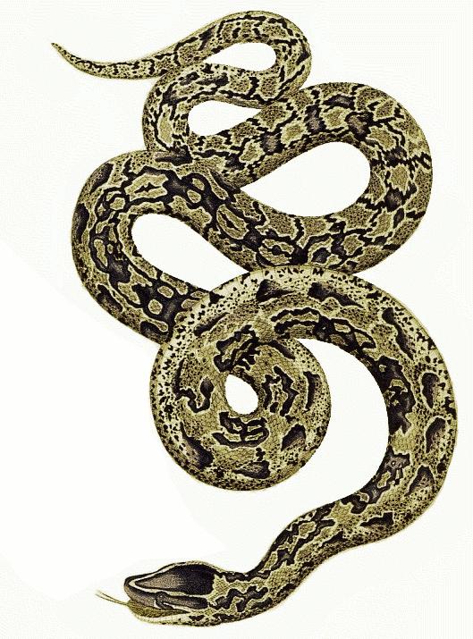 Download Free png Python Snake PNG PlusPNG.com.