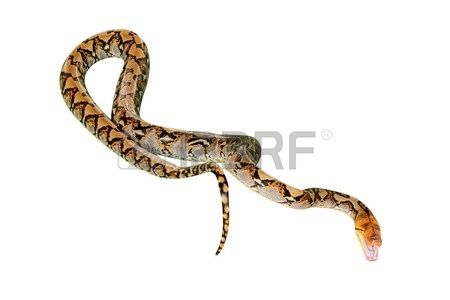 Pythonidae Images & Stock Pictures. Royalty Free Pythonidae Photos.