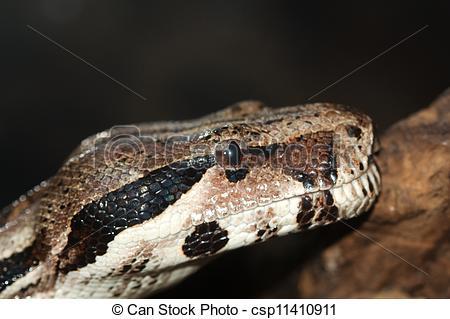 Stock Photography of Python, not venomous snake (Latin Pythonidae.