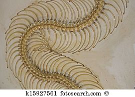 Pythoninae Stock Photos and Images. 149 pythoninae pictures and.