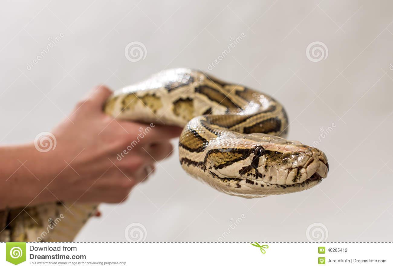 Pythoninae Stock Photo.