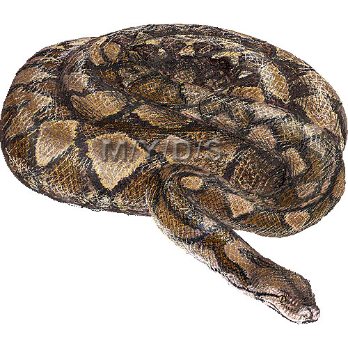 Snake) Reticulated Python, Python Reticulatus clipart graphics.