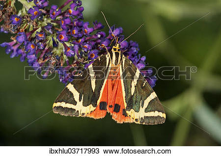 "Stock Photo of ""Jersey Tiger (Euplagia quadripunctaria) sucking."