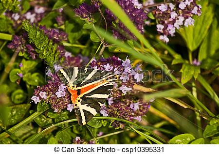 Stock Photos of Spanish flagg, Euphlagia quadripunctaria Poda.