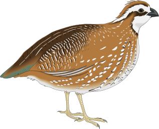 quail 4.