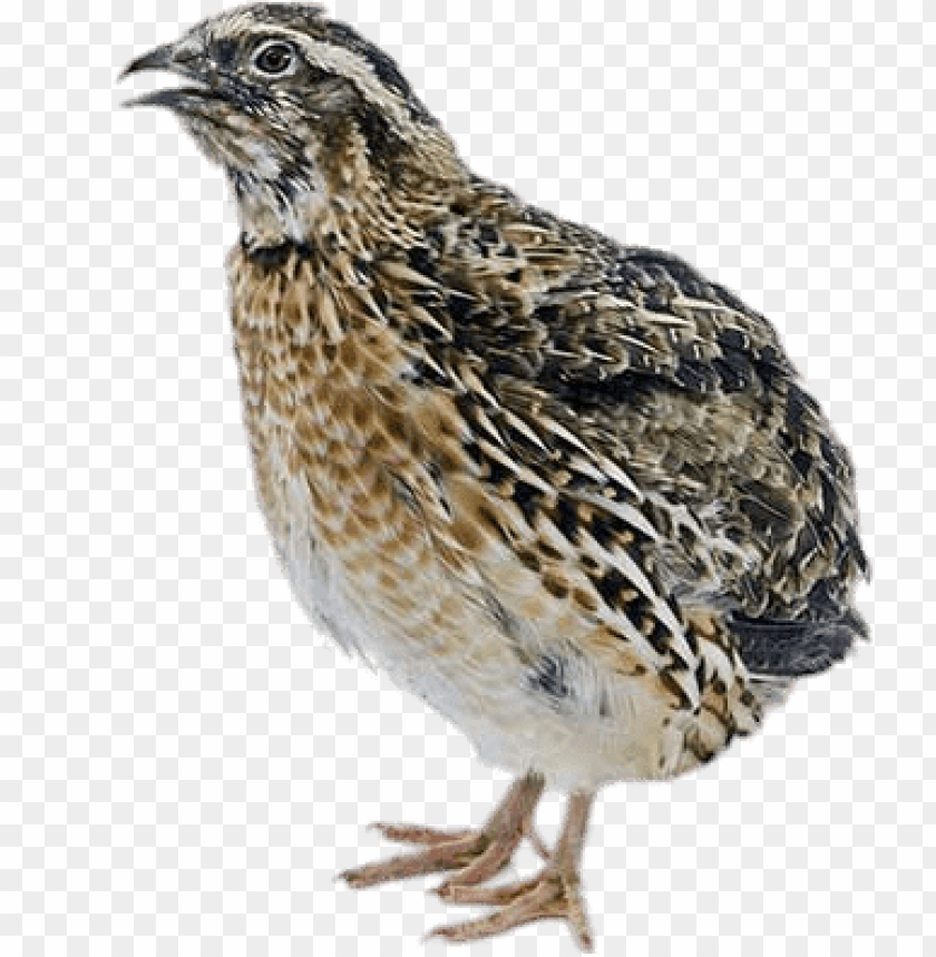 Download female quail png images background.