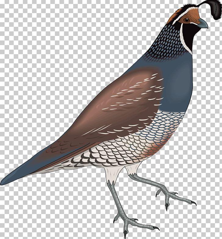 California Quail Bird PNG, Clipart, Animation, Beak, Bird.