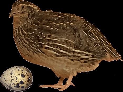 Quail And Quail Egg #94042.