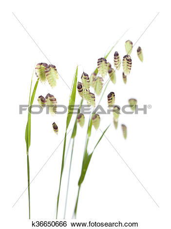 Stock Images of Briza, quaking grass k36650666.