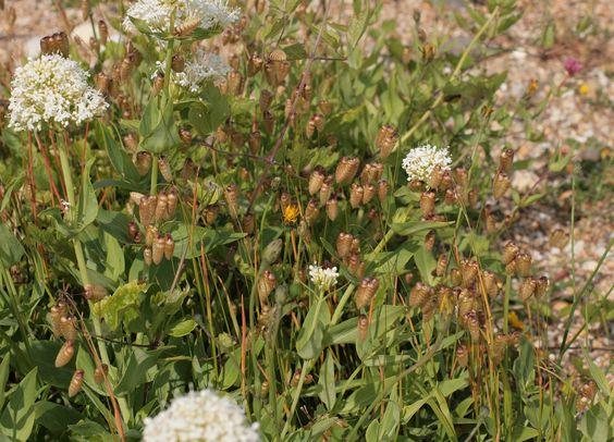 poaceae briza maxima.