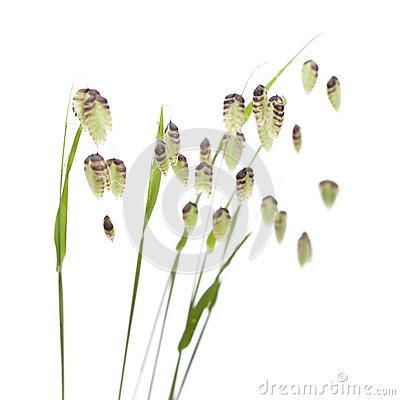 Quaking Grasses ~ Briza Media Royalty Free Stock Photo.