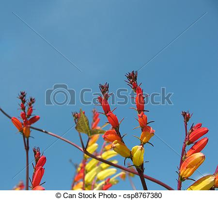 Stock Photography of Quamoclit lobata, Mina lobata, Ipomoea.