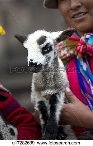 Stock Photograph of Quechua woman carrying a kid goat, Cuzco, Peru.