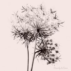 Queen Anne's Lace and The President of the United States.