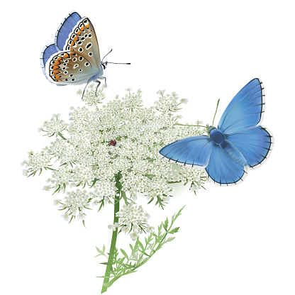 Queen Annes Lace Clip Art, Vector Images & Illustrations.