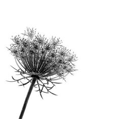 Queen Anne's Lace Drawing by apoolew2o, via Flickr Amelia Poole.