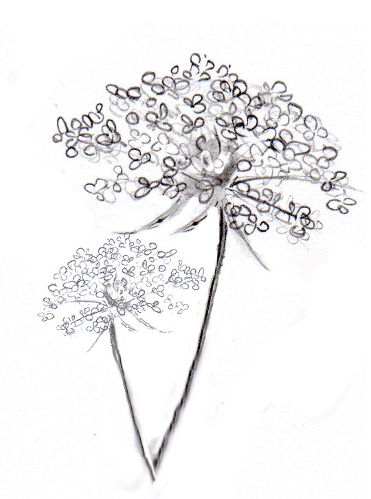 reserved listing for denslionea of Queen Anne's Lace by MalviMart.