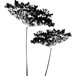 Queen annes lace clipart.
