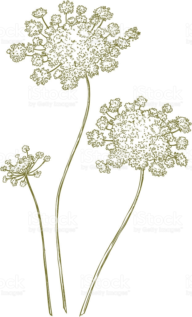 Queen Annes Lace stock vector art 166053567.