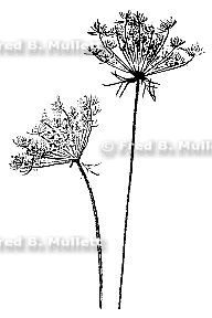 Water Hemlock and Queen Anne's Lace, Watercolor Botanical.