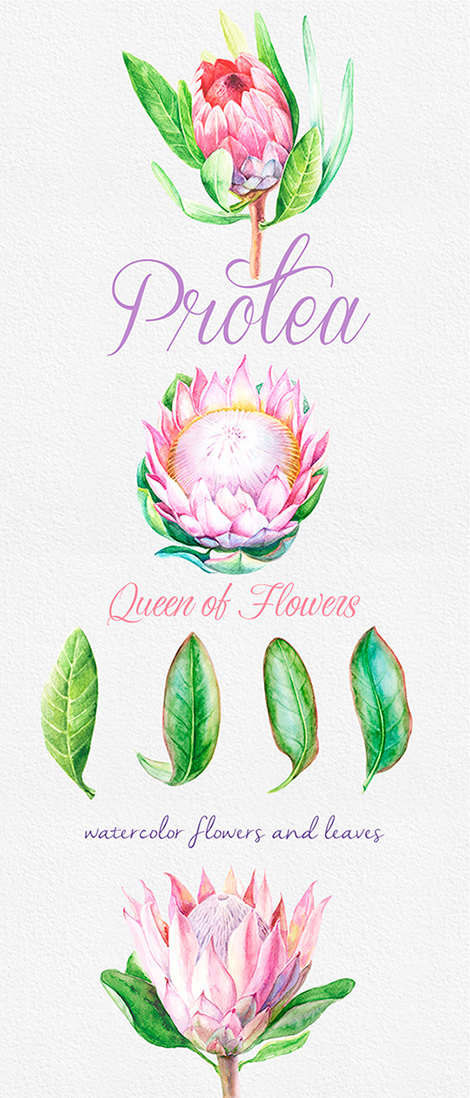 Protea Queen of Flowers, Wedding Watercolor Flowers and leaves.