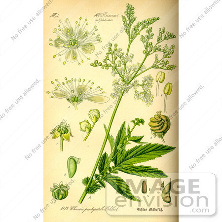 Picture of Meadowsweet, Queen of the Meadow, Pride of the Meadow.