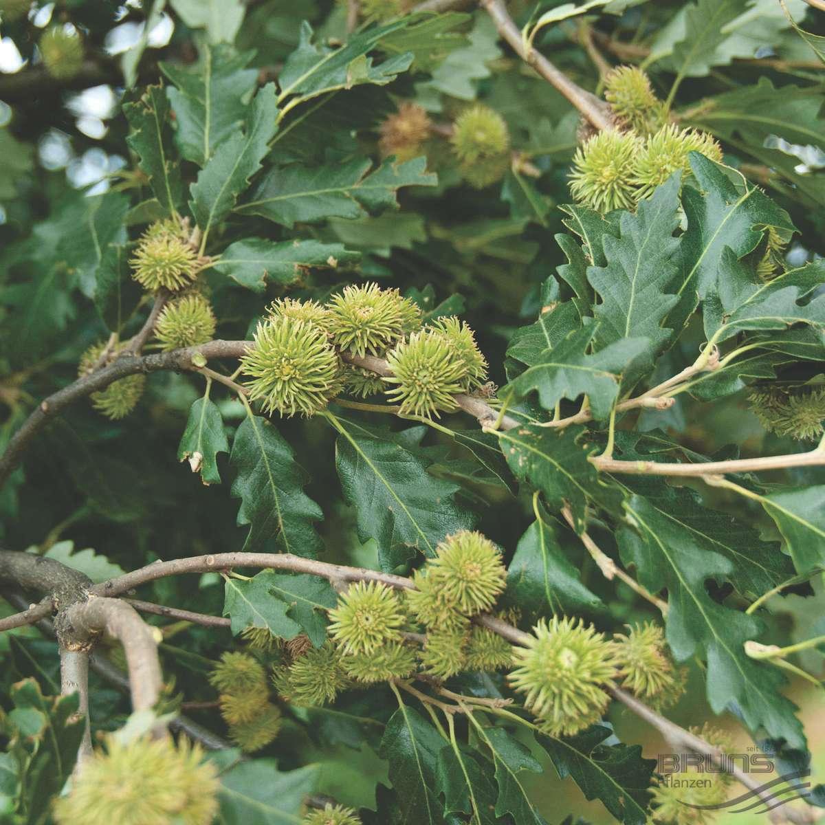 QUERCUS cerris L., Turkey oak.