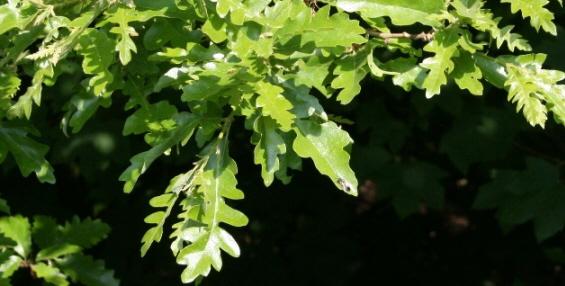 Quercus cerris.