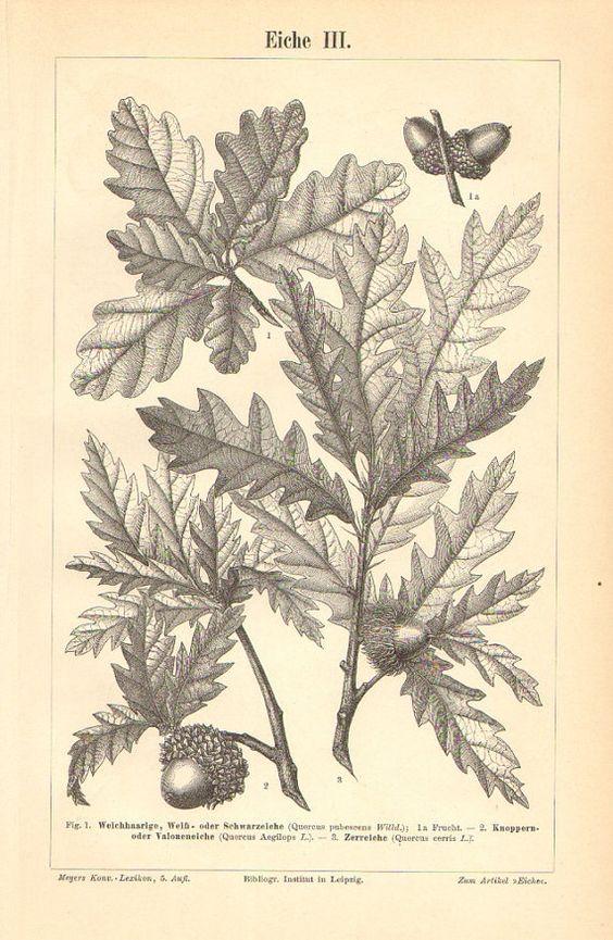 1895 Print Downy oak or Pubescent oak.