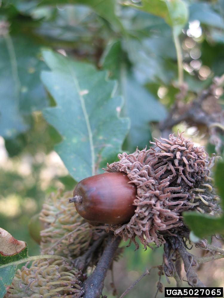Quercus cerris (European turkey oak): Go Botany.