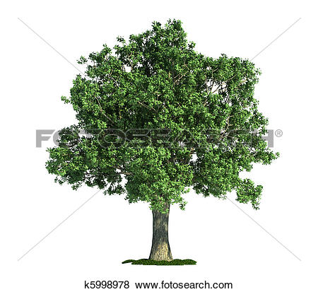 Pictures of isolated tree on white, Oak (Quercus) k5998978.