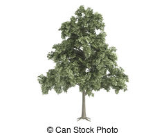 Stock Illustration of Oak or Quercus.