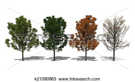 Drawing of Quercus rubra (Four Seasons) k21090963.