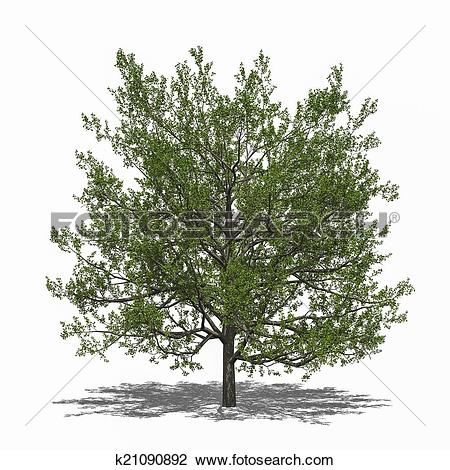 Clip Art of Quercus rubra (summer) k21090892.