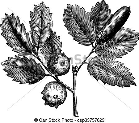 Vector Illustration of Quercus lusitanica or Gall Oak vintage.