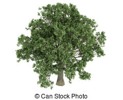 Quercus Stock Illustrations. 134 Quercus clip art images and.