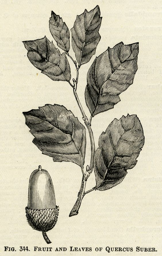 acorn and leaves illustration, vintage botanical clipart, black.