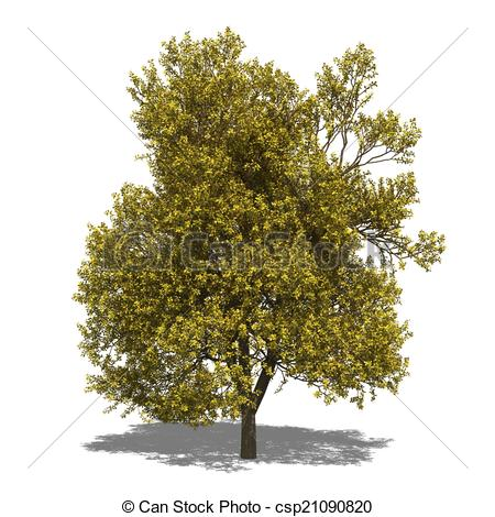 Clip Art of Quercus robur (autumn).