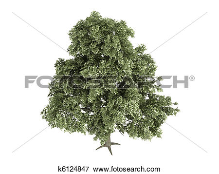 Stock Illustration of Oak or Quercus petraea k6124847.