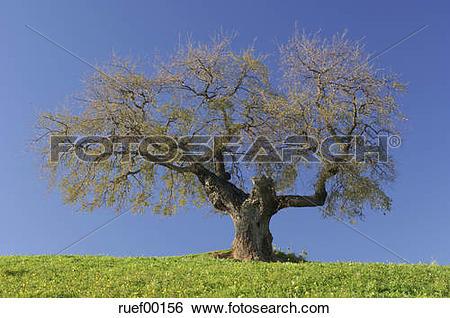 Stock Images of Spain, Andalucia, Single Ilex tree (Quercus ilex.