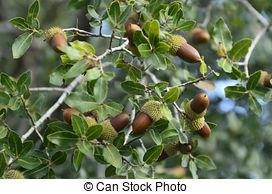 Stock Photography of Oak tree.