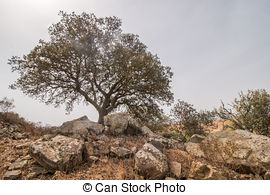 Stock Photos of flowers of holm oak (quercus ilex) tree.