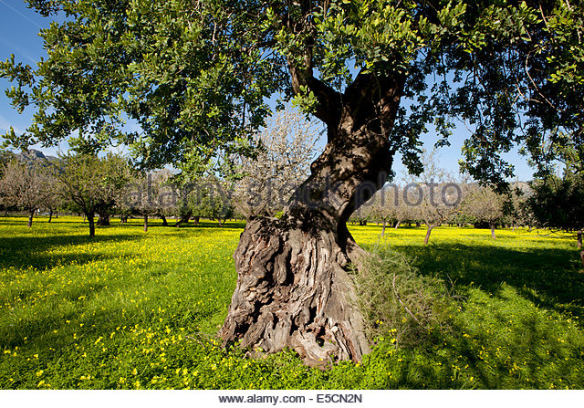 Clover Tree Stock Photos & Clover Tree Stock Images.