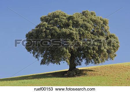 Stock Photo of Spain, Andalucia, Single Ilex tree (Quercus ilex.