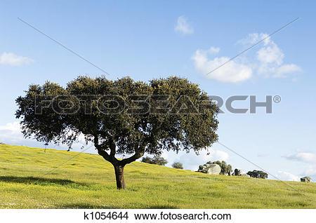Stock Photo of Oak tree.