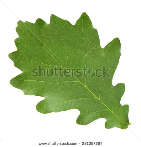 Quercus Pedunculata Stock Photos, Images, & Pictures.
