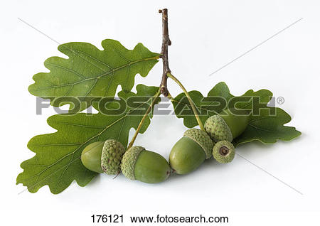 Stock Photography of Pendulate Oak, English Oak (Quercus robur.