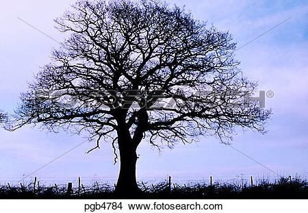 Stock Photo of Oak tree. English hedgerow oak in winter. England.