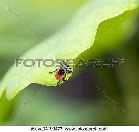 Picture of Female tick (Ixodes ricinus) lurking on a leaf of an.